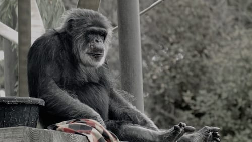 Cobby the chimp